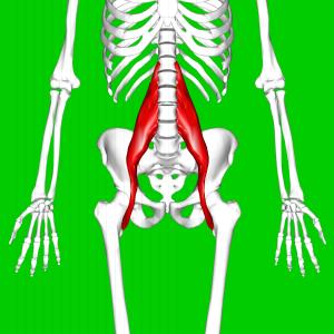 שריר המותן